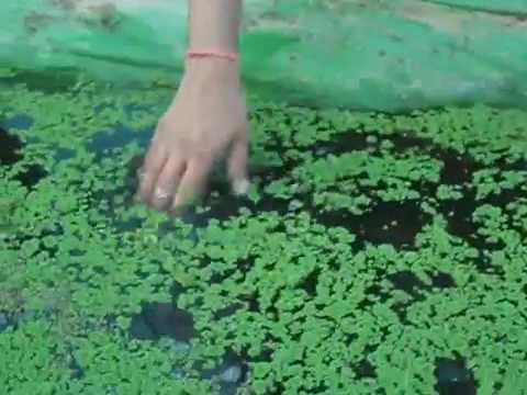 azolla,a rich source of protein..