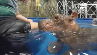 Premature Baby Hippo Fiona is 4 Months Old - Cincinnati Zoo