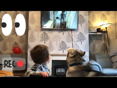 Baby & Husky Watching Themselves On Television With The Cutest Reaction Ever!!...