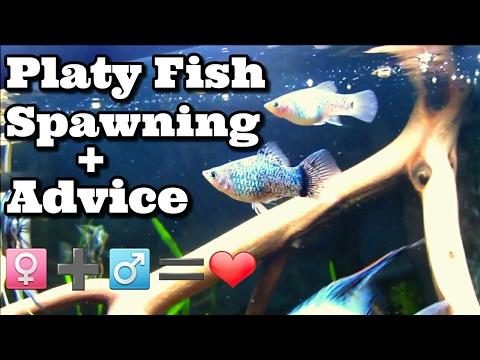 Platy Fish Spawning Ritual Habits