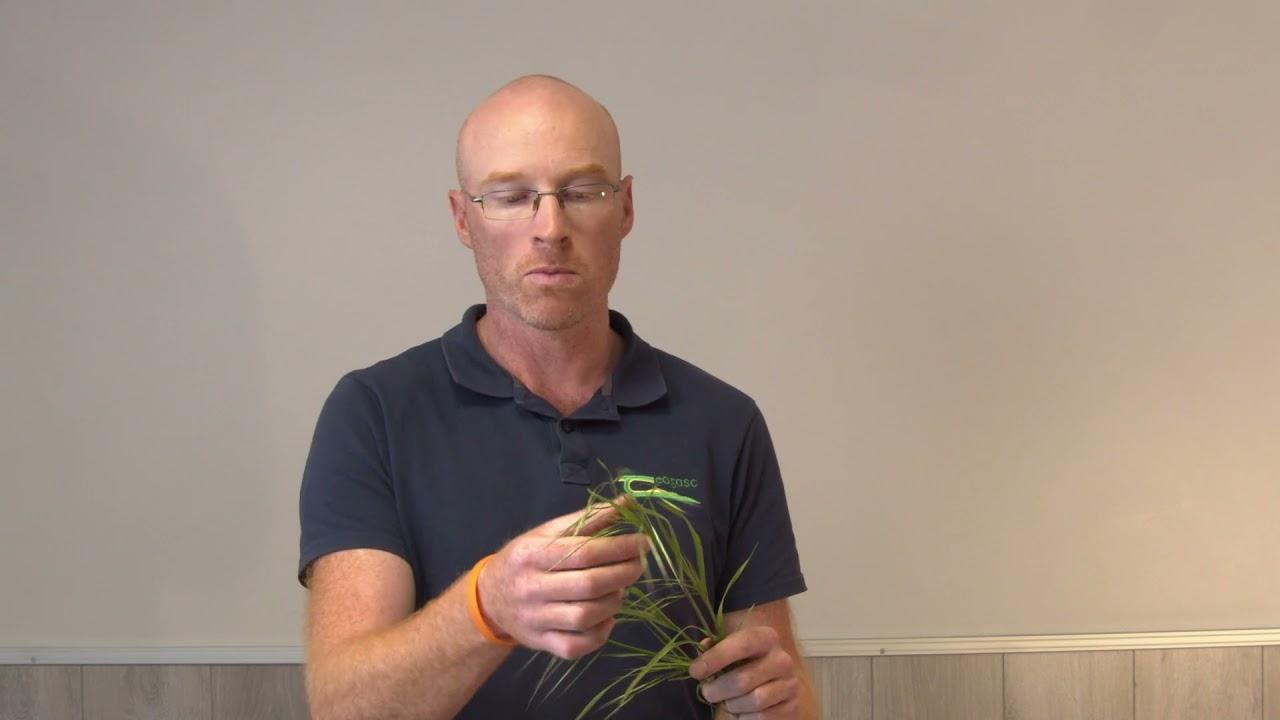 Download Grass Weed Identification Part 3 - Sterile (Barren) Brome (Bromus Sterilis)