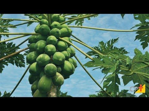 Clique e veja o vídeo Curso a Distância Produção de Mamão