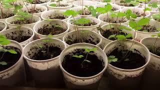 Стеллаж для рассады. Выращивание мелкоплодной земляники. После пикировки. Советы!