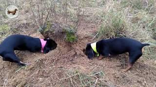 ♥️ СОБАКИ ОХОТЯТСЯ НА МЫШЕЙ собаки (ТАКСЫ НА ОХОТЕ) роют норы на прогулке