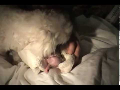 Собака рожает щенка