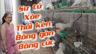 Mô hình nuôi bồ câu kiểng lớn nhất Thị Xã Buôn Hồ - Đăk Lăk | Khởi Nghiệp TV