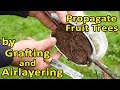 Using Grafting and Air Layering to propagate several plants - from 1 root stock