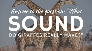 What SOUND do giraffes make & why can