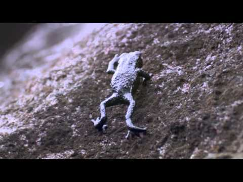 Pebble toad rollover - Nature's Greatest Dancers: Episode 2 Preview - BBC One