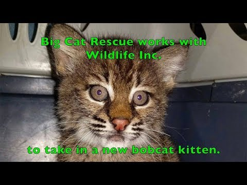 A New Rehab Baby Bobcat: Big Cat Rescue worked with Wildlife Inc. to take in a new baby bobcat for our rehab program named Shamrock.   Learn more about Wildlife Inc. at  https://www.facebook.com/WildlifeInc/  You can help feed the cats at no cost to you using Amazon Smile! Visit BigCatRescue.org/Amazon-smile  Music from Epidemic Sound (http://www.epidemicsound.com)  BIG CAT TV is a close look into our day-to-day operations, the conservation efforts we support, and the 100+ feline residents of