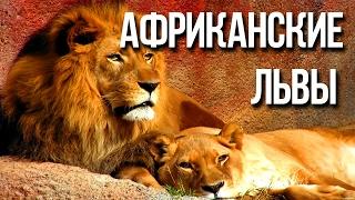 АФРИКАНСКИЙ ЛЕВ самый большой хищник Африки / Интересные факты о животных