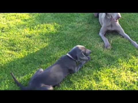 Weimaraners family and puppies