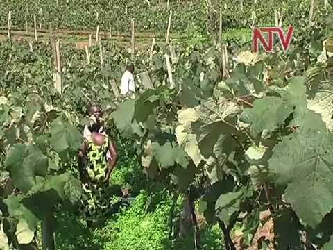 On the Farm: Grape Farming in Bushenyi