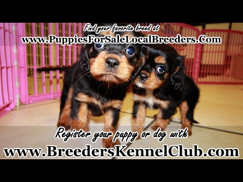 BLACK AND TAN CAVALIER KING CHARLES SPANIEL PUPPIES FOR SALE GEORGIA LOCAL BREEDERS