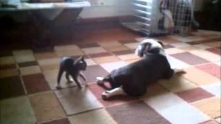 Cute Kitten Attacks Bulldog
