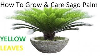 How to grow and care Sago Palm (Cycas/Kangi palm)How To Prevent cycas plant leaves From yellowing