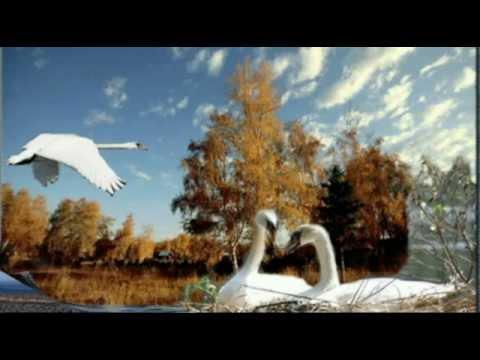 Лебеди  летят   автор  песни   Ян   Райбург