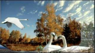 """Лебеди  летят ""  автор  песни   Ян   Райбург"