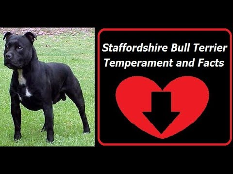 Staffordshire Bull Terrier Temperament and Facts