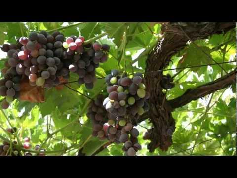Gospel of John: Two Branches