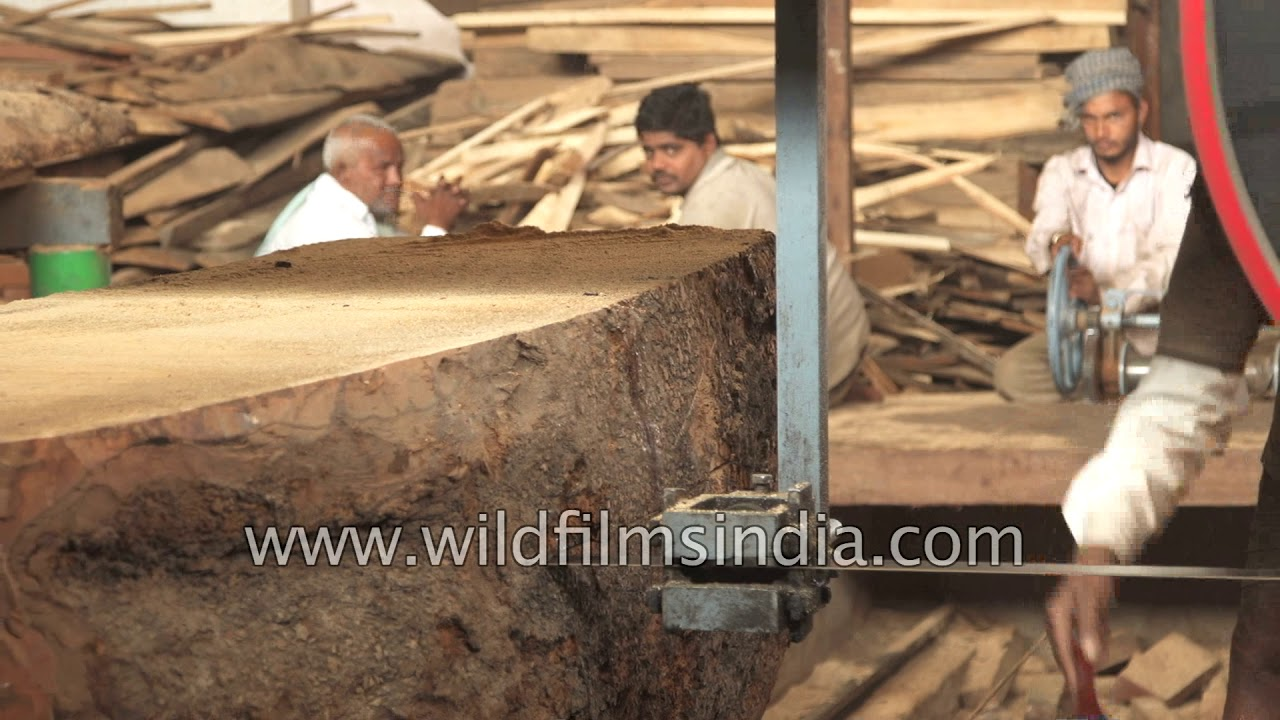 Unprotected carpenters saw wood timber in a sawmill, India