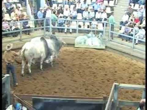 ROCKHAMPTON BRAHMAN WEEK 2008 LIVE WEBCAST LOT526