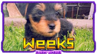 Newborn Yorkshire Terrier Puppies | Week 5 [hd]