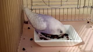 セキセイインコ (•ө•)♪ 『殻付きソバの実を食べる』 thumbnail