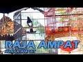 Sesuai Nama Aksi Kacer Raja Ampat Juara  Di Latber Launching Lapangan Kicau Anugrah Pemangkat  Mp3 - Mp4 Download