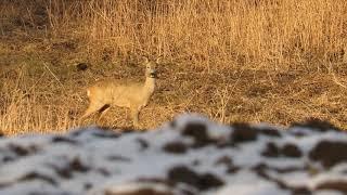 Zwierzęta Sarny zimą wygrzewają się w słońcu / Animals  Deer in the winter bask in the sun