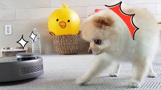 로봇청소기와 서열정리하는 강아지 ㅋㅋ 그리고 더 웃긴 …