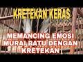 Kretekan Keras Bikin Murai Batu Emosi Cocok Untuk Pancingan Murai Batu Muda Hutan Dan Murai Macet  Mp3 - Mp4 Download