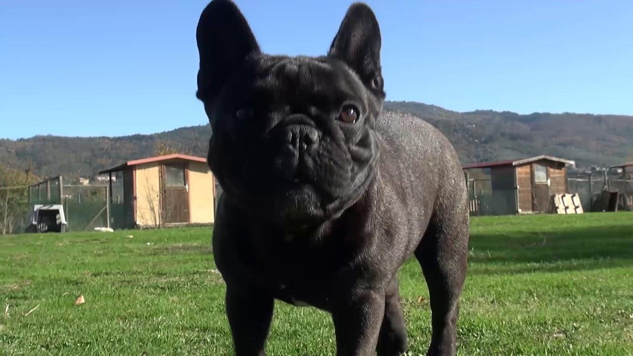 Bulldog Francese è Laretina Ambra è Il Bello Del Mondo Youtube