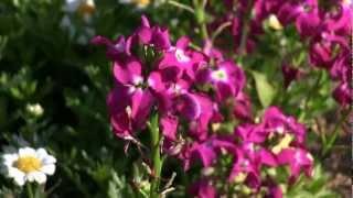 千葉県南房総市ローズマリー公園です。 2012年3月の様子です。 菜の花が...
