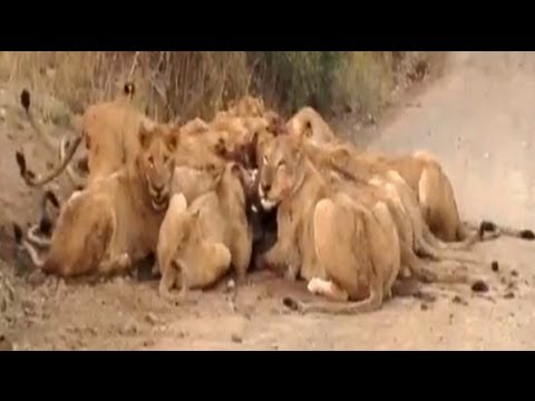 S100 Mega Pride (30+ Lions) Eating A Wildebeest - 19 September 2012 - Latest Sightings