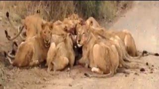 S100 Mega Pride (30+ Lions) Eating a Wildebeest - 19 September 2012 - Latest Sightings