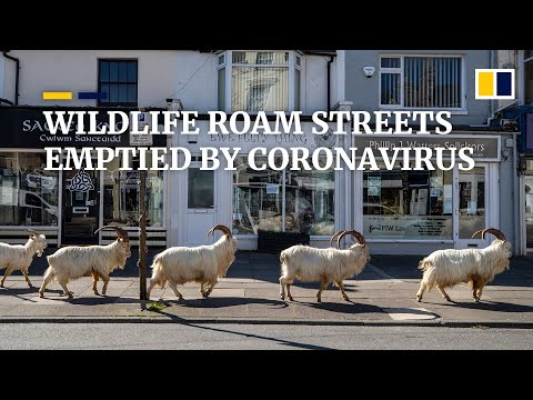 Wildlife comes out to play while humans stay locked away in cities amid coronavirus pandemic