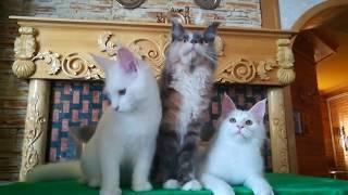 Котята мейн кун из питомника | Купить котенка мейн кун | Котята породы мейн кун
