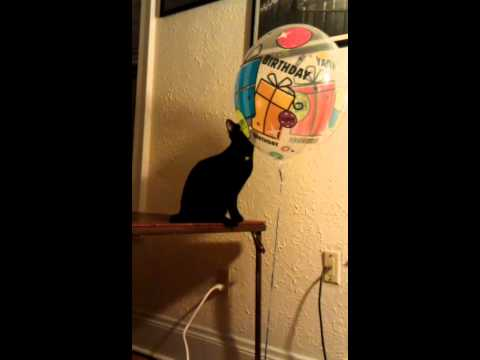 Shadow, the black siamese cat and a balloon!
