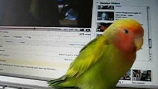 lovebird singing 2