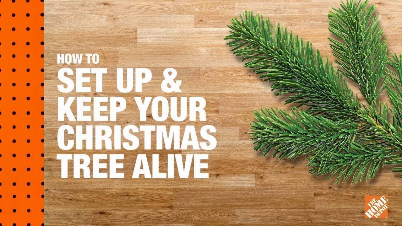 How to Set Up and Keep Your Christmas Tree Alive - YouTube