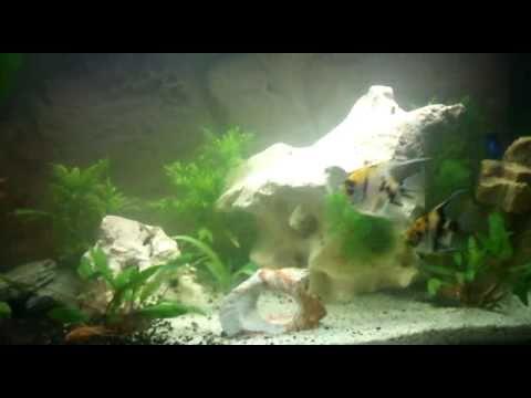 Ein aquarium skalar und kampffisch youtube for Kampffisch aquarium