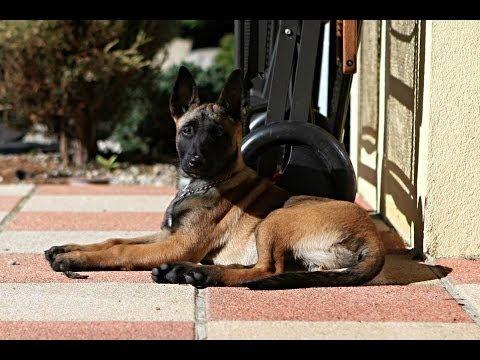 Orina - Belgian Shepherd (malinois) puppy