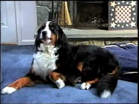 Bernese Mountain Dog Does Her Tricks