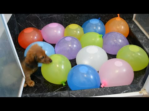 Sausage dog puppy vs. water balloons