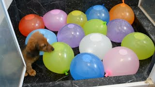 Sausage dog puppy vs. water balloons