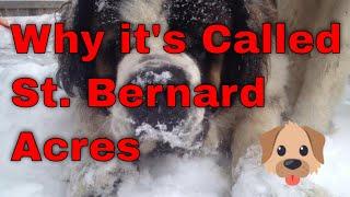 Baixar It's Called St. Bernard Acres (cute dogs in video) :)
