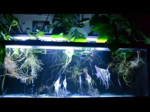 Wild Angelfish (scalare & altum) in Amazon biotope style aquarium