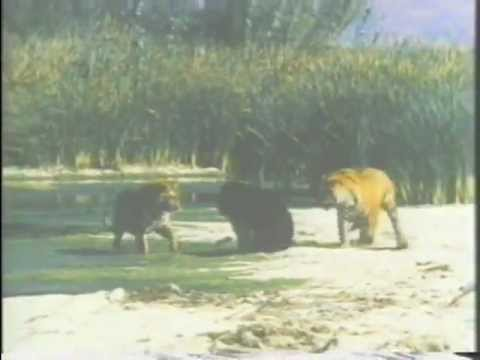 Tigers vs Bear : 2 Bengal Tigers fight an Asiatic Black Bear