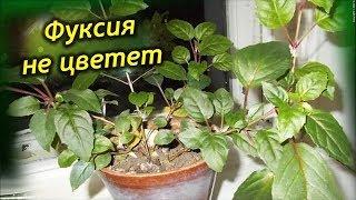 Почему не цветет Фуксия? Как заставить цвести растение!